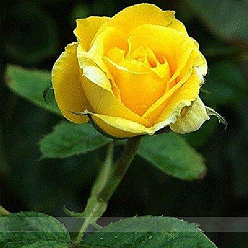 ADB Inc Heirloom Yunnan Yellow Rose Flower Perennial Shrub Plant Seeds Yellow 100 Pcs