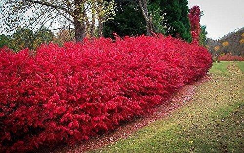 Burning Bush Euonymus alatus Rooted Established Perennial Shrub 1 Gallon Trade