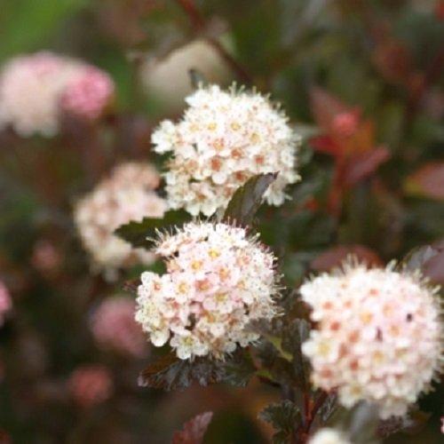 CoppertinaTM Ninebark Perennial Shrub - Physocarpus - Proven Winners