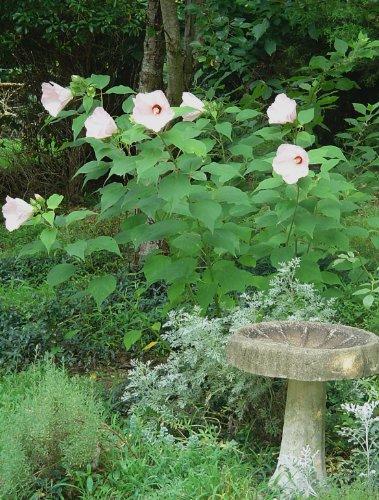 Giant HIBISCUS -Luna Blush- Hibiscus Moscheutos 20 Perennial Shrub Seeds