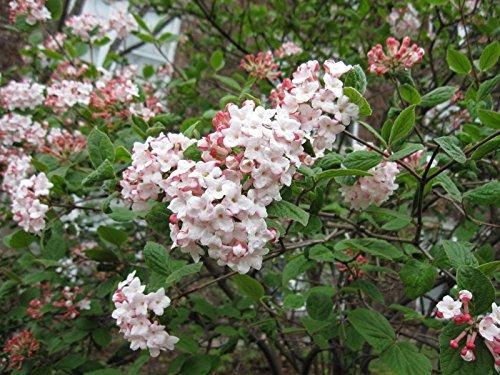 Judd Viburnum Juddi Established Rooted Perennial Shrub 25 Potted 3 plants