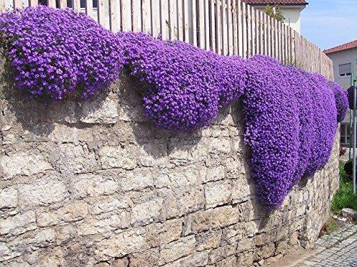 250 Aubrieta Seeds - Cascade Purple Flower Seeds Perennial  Deer Resistant