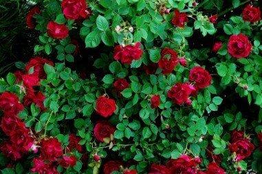Climbing Rose Climber Deep Red Perennials Flower 5 Double blooming rose seeds