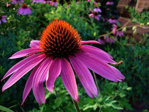 Purple Coneflower Perennial-70 Seeds 500 mg-Echinacea
