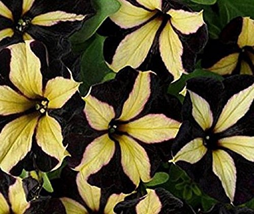 Solution Seeds Farm Heirloom Phantom Petunia Unique Black Yellow Bonsai Annual Flowers 100Seeds Heirloom Ornamental Garden Home Big Blooms
