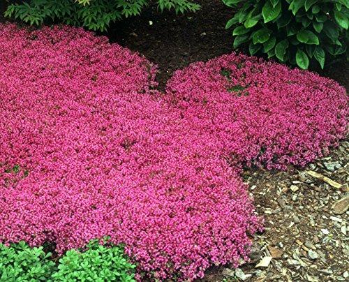 500 Bulk Perennial Flower Garden  Groundcover Seeds - Creeping Thymequotscarlet&quot