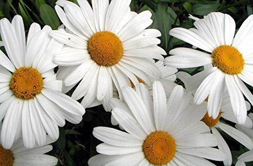 172g Shasta Daisy Seeds Classic Arrangement Flower Easy Perennial Garden Plant
