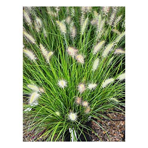 &lsquohameln&rsquo&ndash Dwarf Fountain Grassndash Quart Potndash Healthyndash Heavyndash Perennialndash 1 Plant By Growers Solution