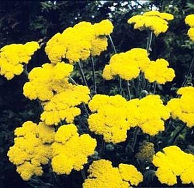 Achillea Yarrow Coarctaca Gold Coin Dwarf Perennial Seeds