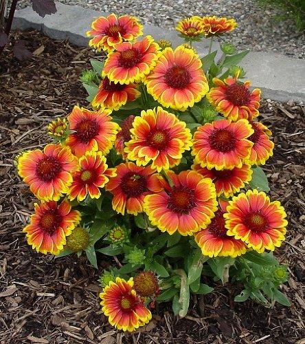 Arizona Sun Gaillardia-dwarf 25-perennial Seeds