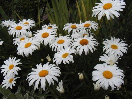 Daisy Shasta Dwarf Perennial White Flower 1175 Seeds Groco