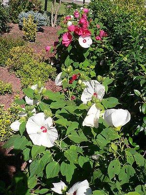 Dwarf Hardy Hibiscus ~luna White~&quothibiscus Moscheutos&quot 20 Seeds Perennial Shrub