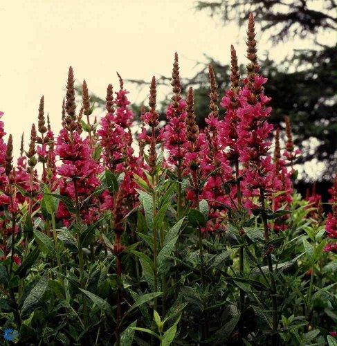 Dwarf Primulaceae Loosestrife -claret Red -quotlysimachia Atropurpurea&quot 20perennial Seeds