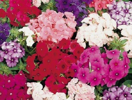 New 30 Fragrant Dwarf Phlox Petticoat Flower Seed Mix  Shade Perennial