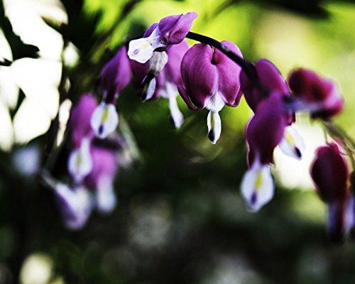 Dicentra Spectabilis Seeds - Purple Aurora - Rare Shade Perennial - 8 Seeds