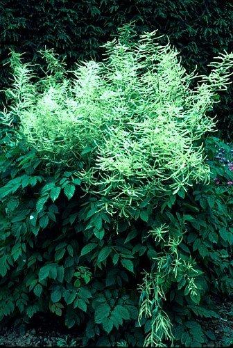 Goatsbeard 30 Seeds - Aruncus - Shade Perennial