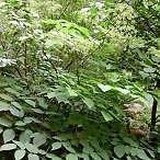 Aralia racemosa UNUSUAL PERENNIAL Seeds