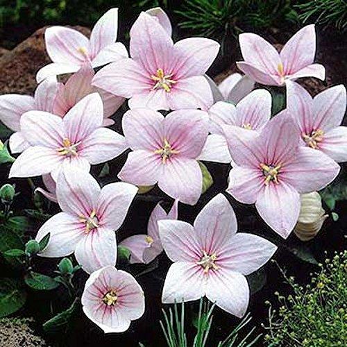 Heirloom 50 Heirloom Perennial Flower Seeds - Balloonflower -quotpink&quot Unusual Blooms