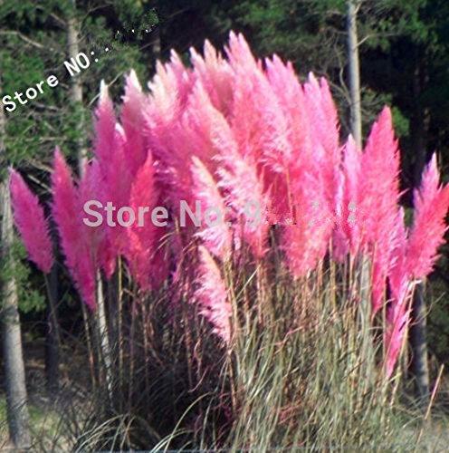 Grass Seeds 400 Impressive Pink Pampas Grass Cortaderia Selloana Seeds Garden Decoration Diy