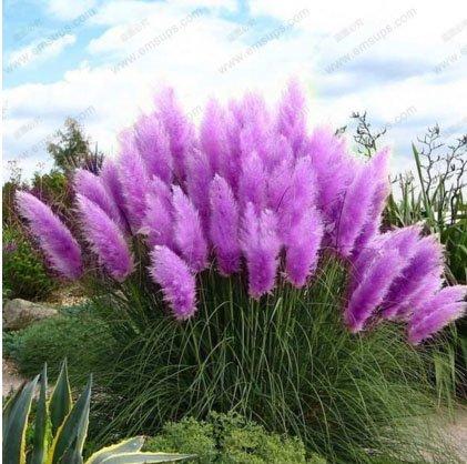 New Rare Purple Pampas Grass Seeds Ornamental Plant Flowers Cortaderia Selloana Grass Seeds 500 Pieces  Lot