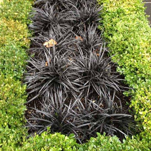 5 Bare Root Black Mondo Grass Divisions Ophiopogon Planiscapus Nigrescens