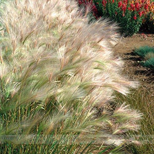 ADB Inc Hordeum Jubatum Squirrel Tail Grass Seeds Professional Pack 50 Seeds