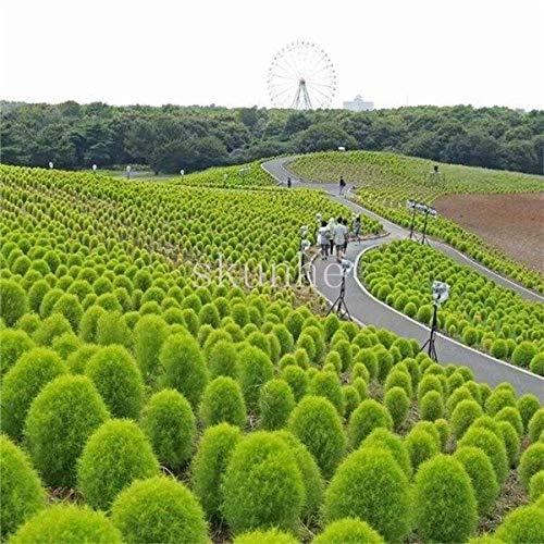 AGROBITS 100pcs Summercypress Bonsai Grass Burning Bush Kochia scoparia KOCHIA SCOPARIA Grass  Green