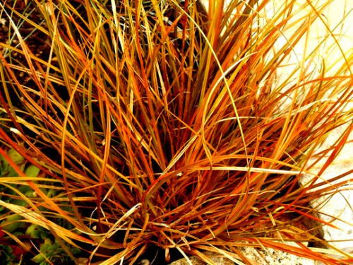 WEEPING BROWNBRONZE SEDGE 159 SEEDS CAREX FLAGELLIFERA HARDY ORNAMENTAL GRASS