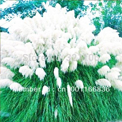 200 White Pampas Grass Cortaderia Seeds like Fog~~~
