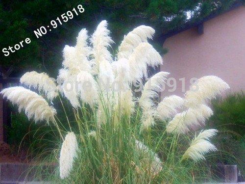 400 pcs Ornamental WHITE PAMPAS GRASS Cortaderia Selloana Flower Seeds Garden decoration DIY
