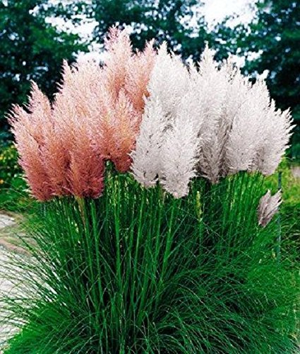 Cortaderia Selloana Pack ~ 30 seeds Pink  30 seeds White ~ Pampas Grass Seeds by Arvice