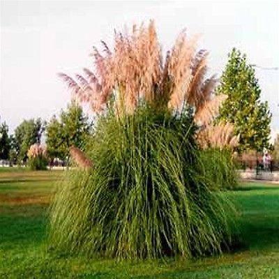 Cortaderia Selloana ~ White Pampas Grass ~ Live Starter Plant