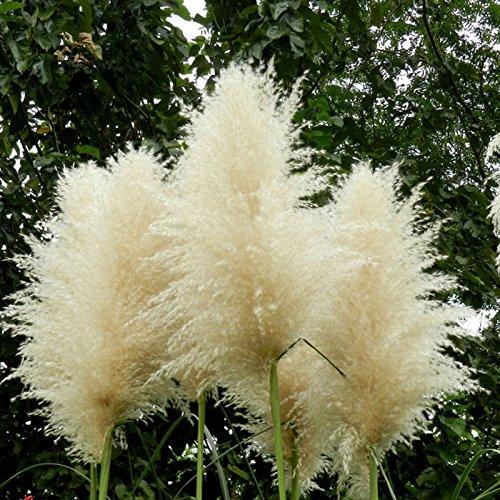 New Rare Impressive White Pampas Grass Seeds Patio home Garden Pot Ornamental Plants New Cortaderia Flowers Seeds 600 PCS
