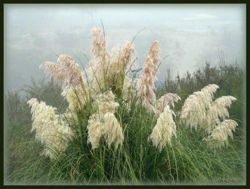 Pampas White Pampas Grass 100 Seeds Groco
