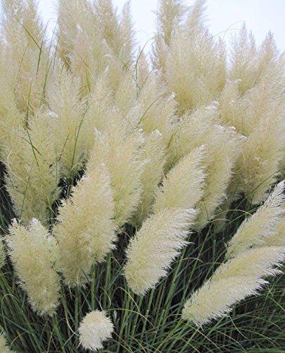 White pampas grass Cortaderia selloana 100 seeds Showy Ornamental E47