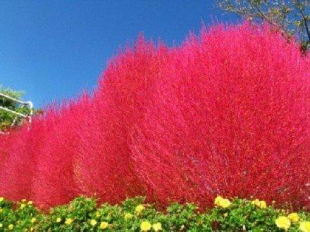 kochia Scoparia ambizu Heirloom 1000 Seedsbag Grass Burning Bush Kochia Scoparia Seeds Red Garden Easy Grow