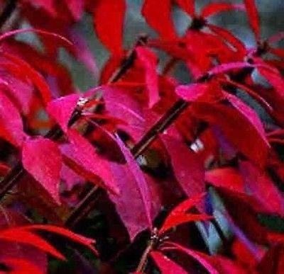 400 Burning Bush Seeds Kochia Scoparia Grass Ornamental Herb Fall Color Erosion