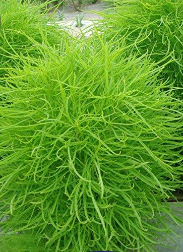 Adb Inc 120 Seeds  Pack Green Kochia Scoparia Molly Scoparia Grass Gorgeous Plants