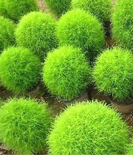 Fd612 Rare Kochia Scoparia Grass Seeds Showy E~z Grow Rapid Exotic Hardy 100pcs