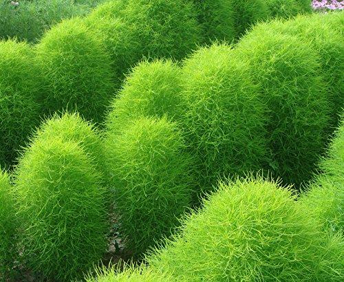 Green Kochia Scoparia summer Cypress Mexican Fireweed Burningbush 400 Seeds