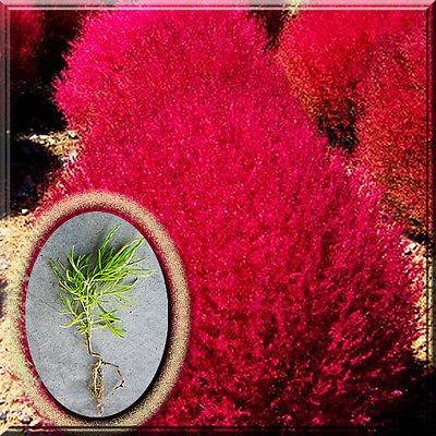 Kochia Bassia Scoparia Burning Bush Ragweed Red Grass Herb Annual Plant Root