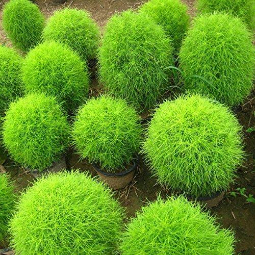 Perennial 50 Seeds Grass Burning Bush Kochia Scoparia Seeds Ornamental Easy Grow