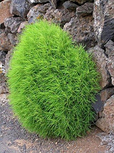 Seeds Burningbush Summer Cypress kochia Scoparia Organic Ornamental Plant