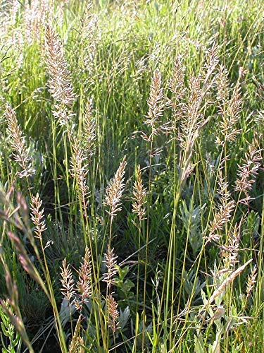 18 oz Seeds of Koeleria macrantha Prairie Junegrass Crested Hair-Grass Koeleria cristata
