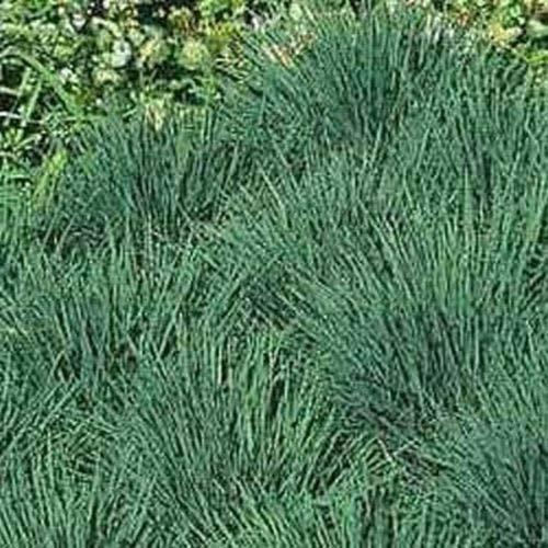 Blue Hair Grass Koeleria glauca- 25 Seeds -