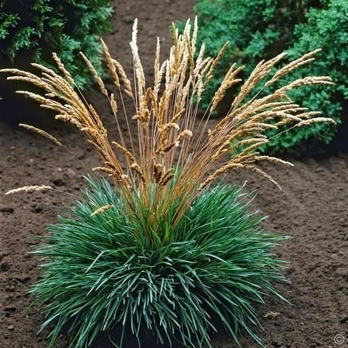 Blue Hair Grass Seeds Koeleria glauca 50Seeds