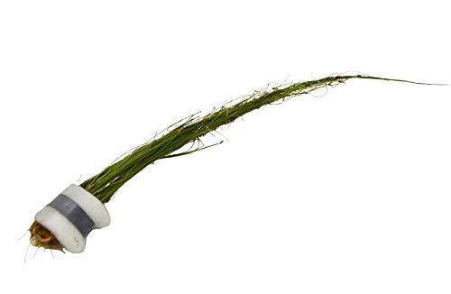 Cheap Fresh Aquatic Umbrella Hair Grass Eleocharis Vivipara PlantLive Plant Easy Grow Get 1HPS01YN
