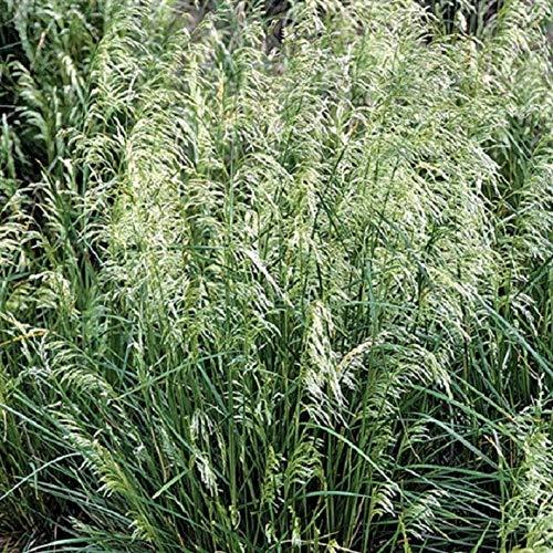 Cutdek Deschampsia Cespitosa Seeds Pixie Fountain Tufted Hair Grass Great Ornamental Grass for Cool Temperature 4000 Seeds