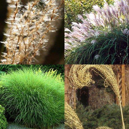 Heirloom Non Gmo Maiden Hair Grass 25 Seeds