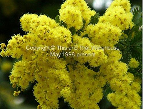 25 Seeds Acacia Baileyana Golden Mimosa Fast Grower Container Gardening Bonsai - Standard
